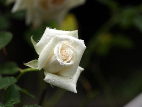 Rosep4253756