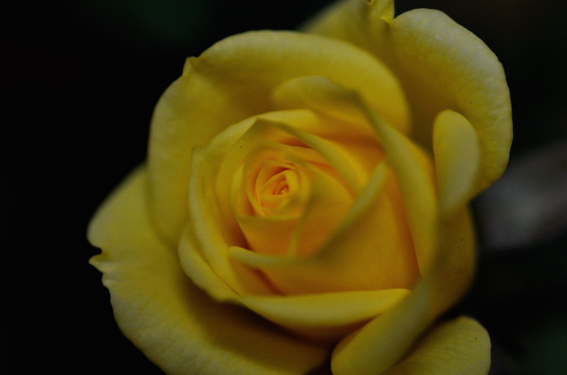 Rose035