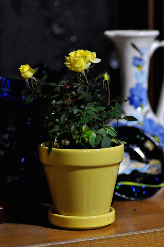 Rose041