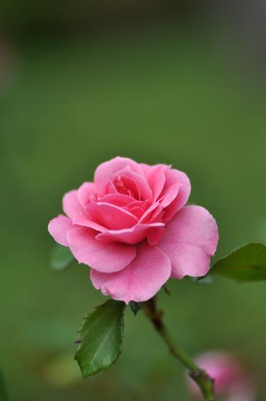 Rose286n