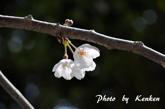 Sakuradsc_9876n