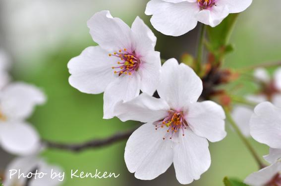 Sakura120n